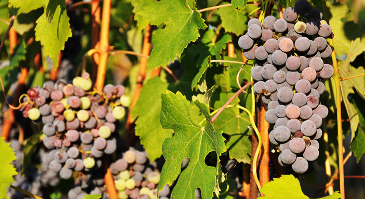 Wine grapes in Italy