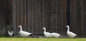 Rogue tenant geese